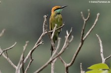 Smaragdspint (Merops orientalis ferrugeiceps) im Khao Sam Roi Yot National Park, Thailand