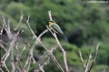 Blauschwanzspint (Merops philippinus) im Khao Sam Roi Yot National Park, Thailand