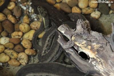 Javanische Warzenschlange (Acrochordus javanicus)