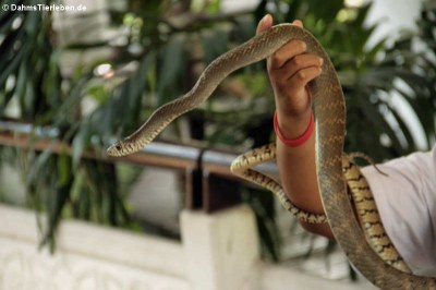 Indochinesische Rattenschlange (Ptyas korros)