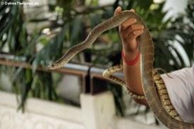 Präsentation einer Indochinesische Rattenschlange (Ptyas korros) im Queen Saovabha Memorial Institute