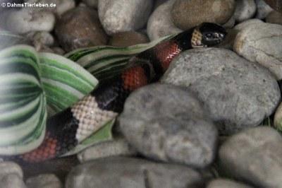 Mexikanische Milchschlange (Lampropeltis annulata)
