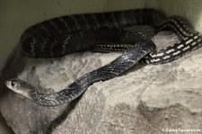 Gekielte Rattenschlange (Ptyas carinata) Snake Farm im Queen Saovabha Memorial Institute, Bangkok