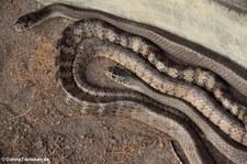 Gebänderte Rattenschlangen (Ptyas mucosa) im Queen Saovabha Memorial Institute, Bangkok