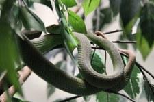 Weißlippen-Bambusotter (Trimeresurus albolabris) in der Snake Farm im Queen Saovabha Memorial Institute