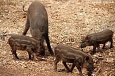 Wildschweine (Sus scrofa cristatus) in Kanchanaburi, Thailand