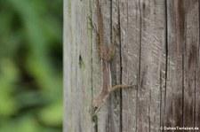 Saint Croix Anolis (Anolis acutus) auf Saint Croix, US Virgin Islands