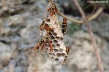 Mischocyttarus mexicanus cubicola auf Saint Croix, US Virgin Islands