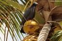 Patagioenas leucocephala