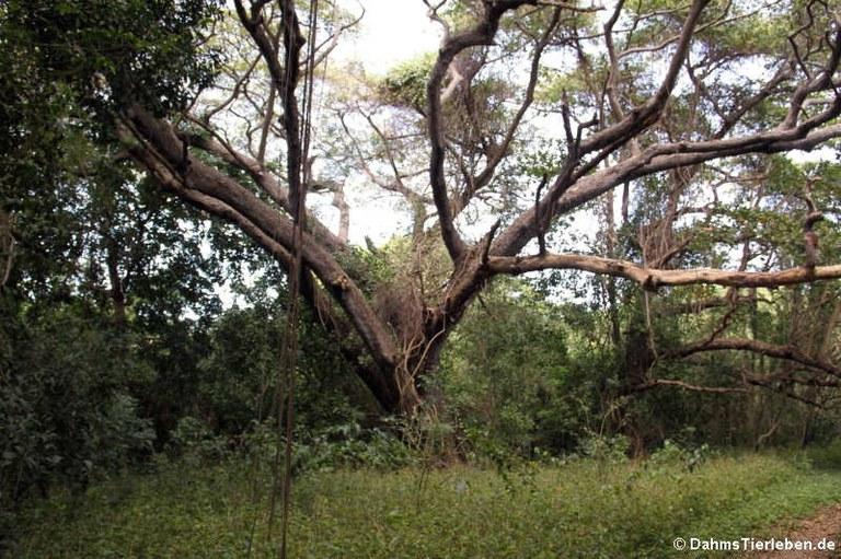 Baum im Rainforest