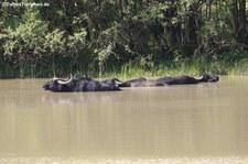 Wasserbüffel (Bubalus arnee) in der Wahner Heide