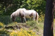 Islandpferd in der Wahner Heide