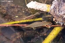 weiblicher Teichmolch (Lissotriton vulgaris) in der Wahner Heide