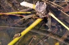 Teichmolche (Lissotriton vulgaris) in der Wahner Heide