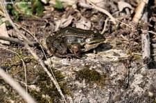 Teichfrosch (Pelophylax esculentus) in der Wahner Heide