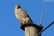Turmfalke (Falco tinnunculus tinnunculus) in Graurheindorf
