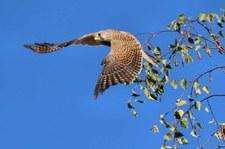 Turmfalke (Falco tinnunculus tinnunculus) am Rhein bei Graurheindorf