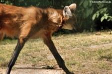 Mähnenwolf (Chrysocyon brachyurus) im Euregiozoo Aachen