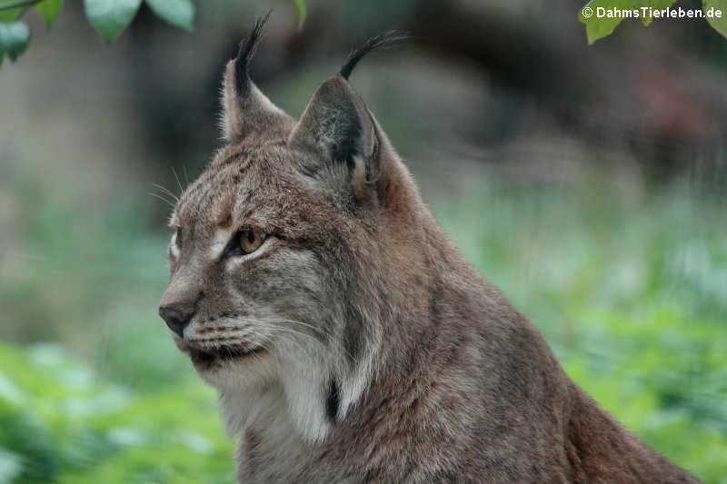 Lynx lynx lynx