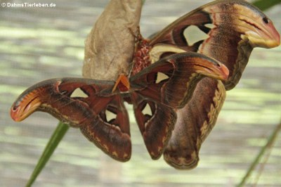 Attacus atlas (Atlasspinner)