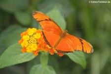 Julia Falter (Dryas iulia) im Schmetterlingsgarten Eifalia, Ahrhütte