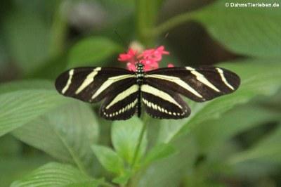 Heliconius charitonius (Zebrafalter)