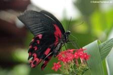 Scharlachroter Schwalbenschwanz (Papilio rumanzovia) im Schmetterlingsgarten Eifalia, Ahrhütte