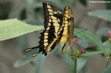 Königs-Schwalbenschwanz (Papilio thoas) im Schmetterlingsgarten Eifalia, Ahrhütte