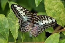 Blauer Segler (Parthenos sylvia) im Schmetterlingsgarten Eifalia, Ahrhütte