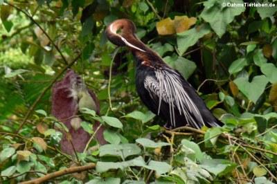 Afrikanischer Schlangenhalsvogel (Anhinga rufa)