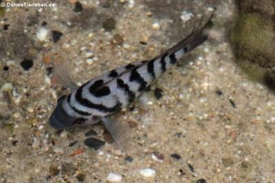 Zebrabuntbarsch (Amatitlania nigrofasciata)