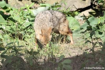 Europäischer Goldschakal (Canis aureus moreotica)