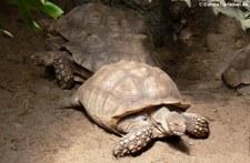 Spornschildkröte (Centrochelys sulcata) in Burgers Zoo Arnheim