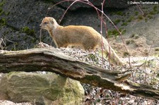Fuchsmanguste (Cynictis penicillata) im Burgers Zoo, Arnheim