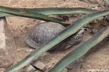 Östliche Schmuck-Dosenschildkröte (Terrapene ornata ornata) im Burgers' Zoo, Arnheim