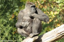 Westlicher Flachlandgorilla (Gorilla gorilla gorilla) im Burgers' Zoo, Arnheim