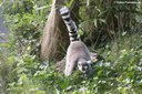 Lemur catta