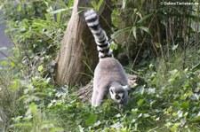 Katta (Lemur catta) im Burgers Zoo, Arnheim