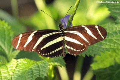 Zebrafalter (Heliconius charitonius)