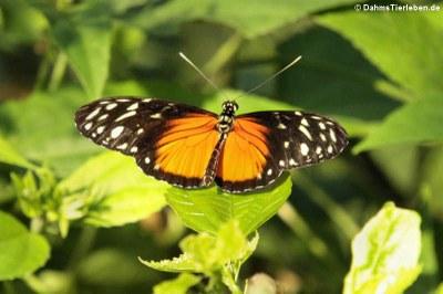 Tiger-Passionsblumenfalter (Heliconius hecale)