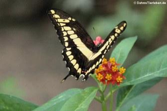 Königs-Schwalbenschwanz (Papilio thoas)