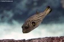 Manilakugelfisch (Arothron manilensis) im Burgers' Zoo, Arnheim