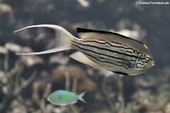 Lamarcks Engelfisch (Genicanthus lamarck)