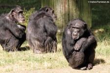 Schimpansen (Pan troglodytes) im Burgers' Zoo, Arnheim