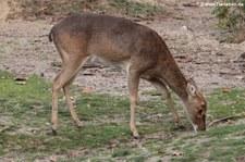 Burma-Leierhirsch (Panolia eldii thamin) im Burgers Zoo, Arnheim