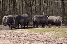 Südliche Breitmaulnashörner (Ceratotherium simum simum) im Burgers Zoo, Arnheim