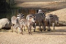 Böhm- oder Grant-Zebra (Equus quagga boehmi) im Burgers Zoo, Arnheim
