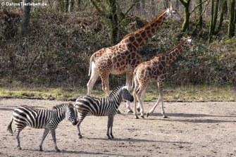 Rothschildgiraffe (Giraffa camelopardalis rothschildi) und Grant-Zebras (Equus quagga boehmi)