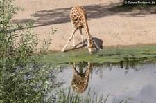 Rothschildgiraffe (Giraffa camelopardalis camelopardalis) im Burgers' Zoo, Arnheim
