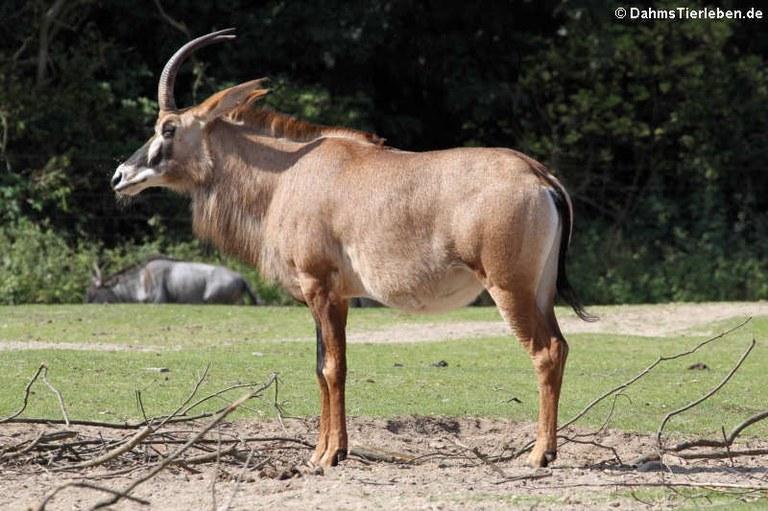 Hippotragus equinus